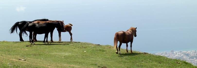 Horses on the hill in Liguria