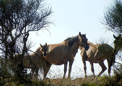Horses are eating the grass and enjoying the ligurian weather