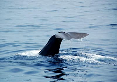 Beautiful whale from a whale watching excursion in Liguria