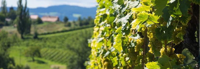 Wine growers in Liguria