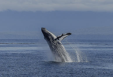 Whales and dolphins watching in Liguria