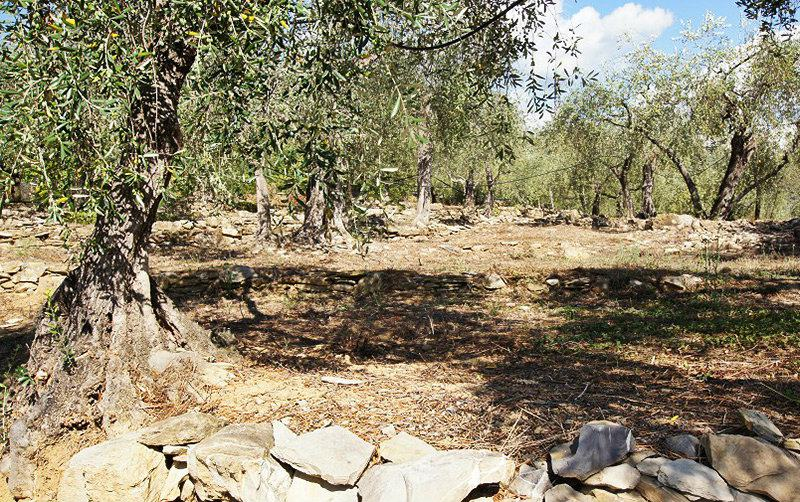Olive trees in Bellissimi, Liguria