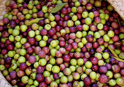 Harvested olives in Liguria