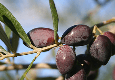Taggiasca Olives in Liguria