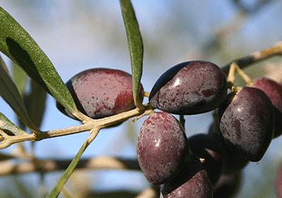 Taggiasca Olives in Liguria