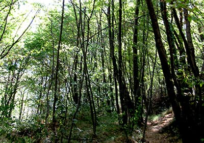 A forrest in Liguria
